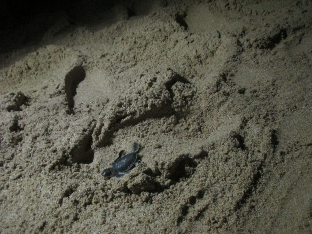 004_09.-10.10.14_Ras Al Jinz Turtle Reserve (53).JPG